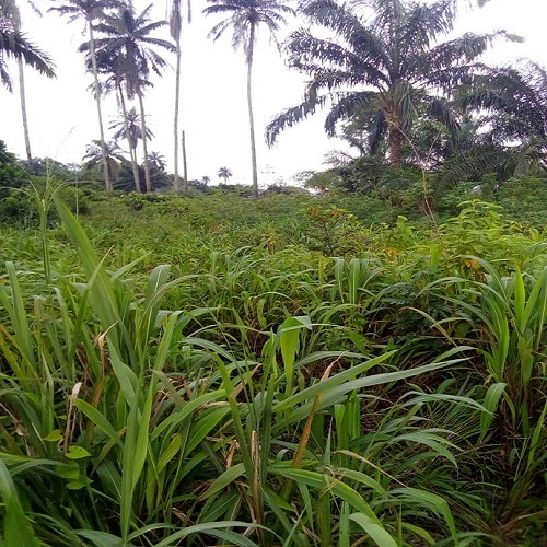 100 plots of native  land at Amakohia Ubi Owerri west LGA, Owerri Imo State for sale